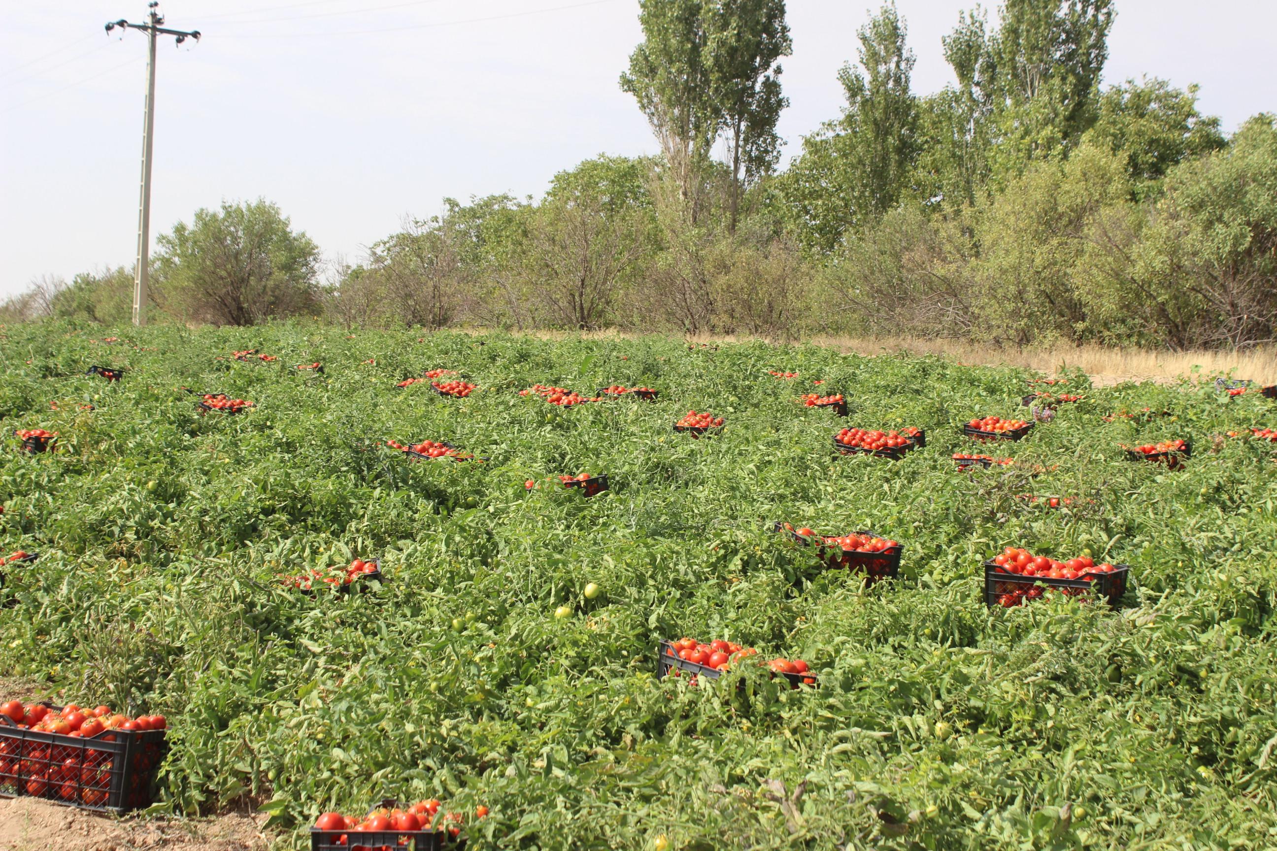 200هکتار زمین زارعی در مهاباد زیر کشت گوجه فرنگی