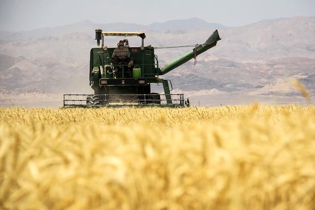 پیش بینی تولید 100هزارتن گندم توسط گندم کاران مهابادی