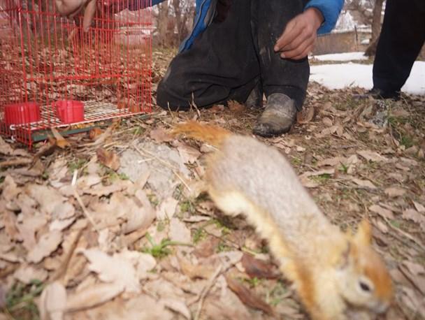 رها سازی سنجاب در مهاباد