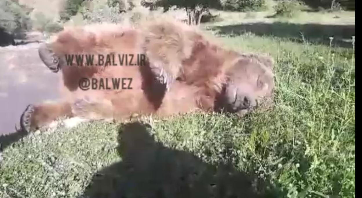 غرق شدن یک قلاده خرس در رودخانه پیرانشهر 4