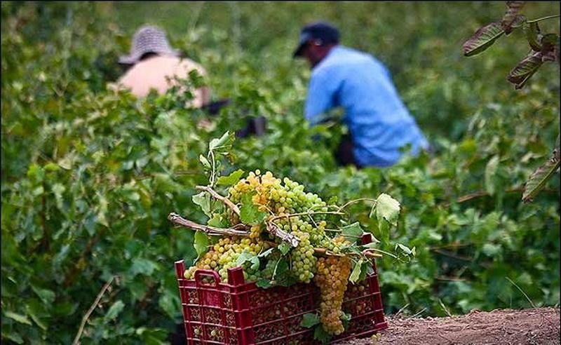 افزایش 30درصدی تولید انگور در مهاباد