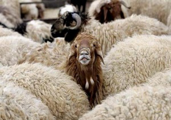 آب مسموم ، 72 راس گوسفند را تلف کرد