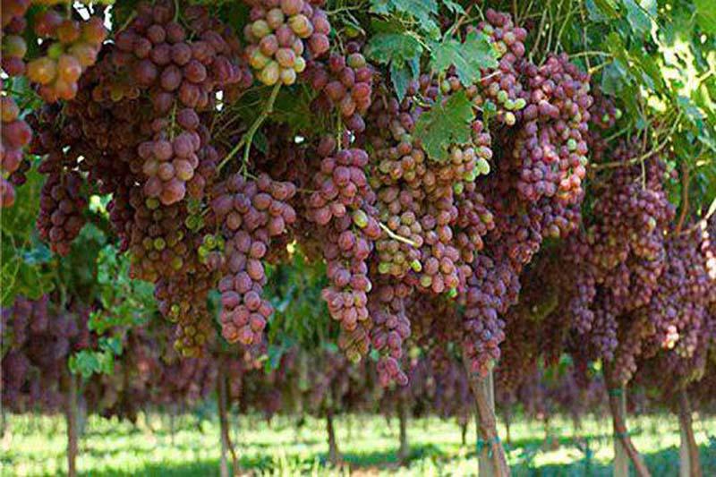 احداث بیش از 40 هکتار باغ انگور در بخش خلیفان مهاباد