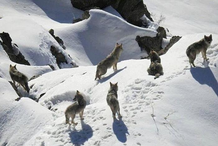 گله گرگهای گرسنه در محوطه روستای یوسفکند مهاباد