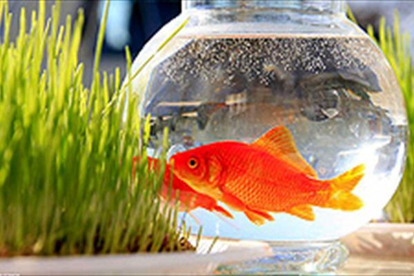 واردات ماهی قرمز از چین تکذیب شد