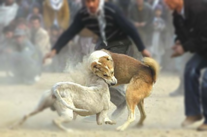"""برگزار کنندگان مسابقات غیر قانونی """" نزاع سگ ها """" در سردشت به دستگاه قضایی معرفی شدند"""