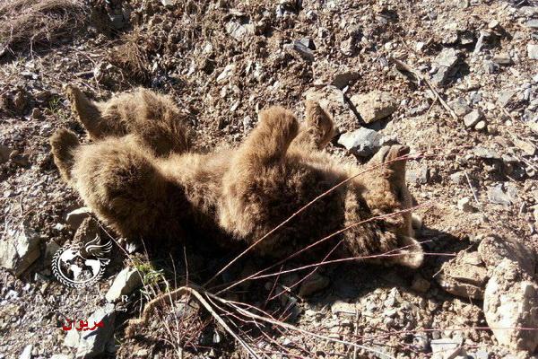 """یک قلاده """" خرس """"در یکی از روستاهای مریوان تلف شد"""