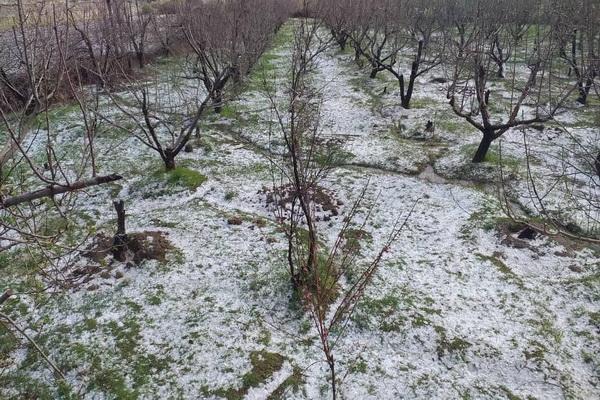 خسارت های ناشی از بارش تگرگ در دستور کار جهادکشاورزی سردشت قرار گرفت