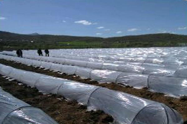 کاشت گوجه فرنگی و خیار به روش تونلی برای اولین بار درسطح مزارع کشاورزی بانه