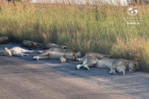 شیرها در حال استراحت