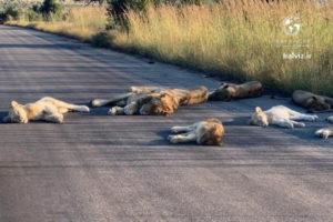 تصاویری نادر از شیرهای خوابیده در جاده