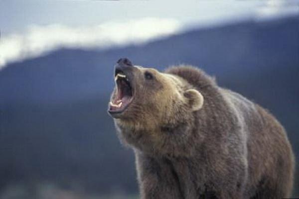 """حمله خرس در ارتفاعات """" هاوشینان """" پیرانشهر موجب زحمی شدن یک نفر شد"""