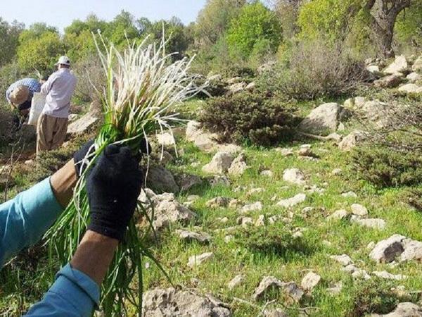برداشت گیاهان خوراکی و دارویی در سطح منابع طبیعی مریوان ممنوع است