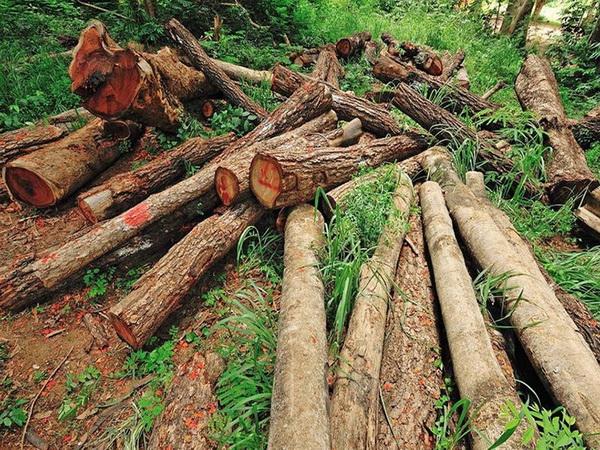 دستگیری سه نفر متخلف قطع درختان جنگلی در مریوان