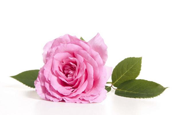 برداشت عطر شمیم گل محمدی در گلستان های زیبای سردشت آغاز شد