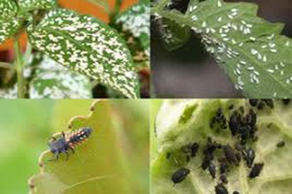 رصد، پایش و کنترل عوامل خسارت زای گیاهی در مزارع غلات ،کمک به ارتقای درآمد زارعین