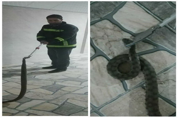 یک حلقه مار سمی در منزل مسکونی در مهاباد توسط خدمات ایمنی شهرداری زنده گیری شد