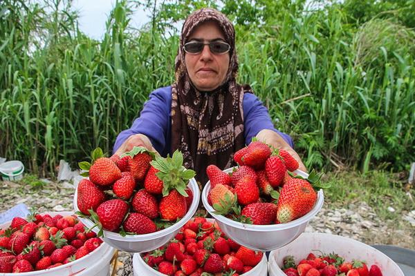 برداشت توت فرنگی از مزارع شهرستان مرزی سردشت آغاز و روانه بازارشد