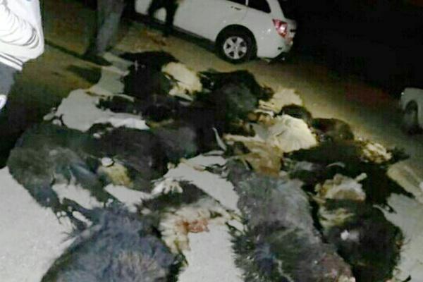 دربرخورد خودروی سواری پژو ۴۰۵ با گله احشام تعداد ۳۲ راس حیوان تلف شدند