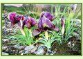"""گونه متفاوت """" گل زنبق وحشی """" در کوههای دامنه کلیه شین شهرستان اشنویه"""