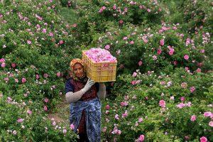 پیش بینی بیش از 17تن گل محمدی از گلستان های میاندوآب در سال جاری
