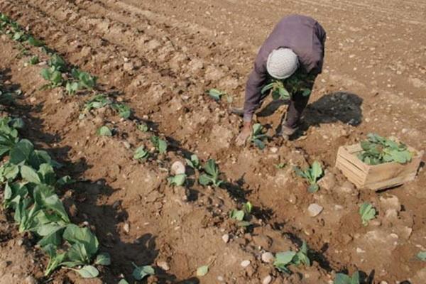 کشت نشایی محصولات بهاره در ۱۸ هکتار از اراضی زراعی میاندوآب