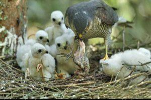 جوجه ها در تالاب کانی برازان سر از تخم درآوردند