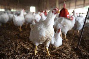 کاهش مصرف گوشت مرغ در آذربایجان غربی 30 درصد کاهش یافت