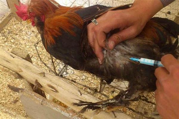 بیش از 39 هزار قطعه طیور بومی در شاهین دژ واکسینه شدند