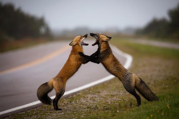 کشمکش بین روباه ها عکس برترطبیعت ، نشنال جئوگرافیک در سال 2016