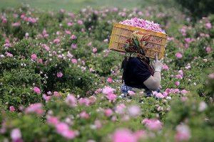 برداشت گل محمدی از سطح اراضی زیر کشت درشهرستان شاهیندژآغاز شد