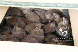 بیش از یکصد بال کبک زنده در مهاباد کشف شد