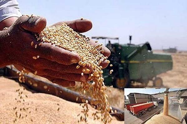 خرید بیش از یک هزار تن گندم تضمینی توسط مراکز خرید گندم در سقز