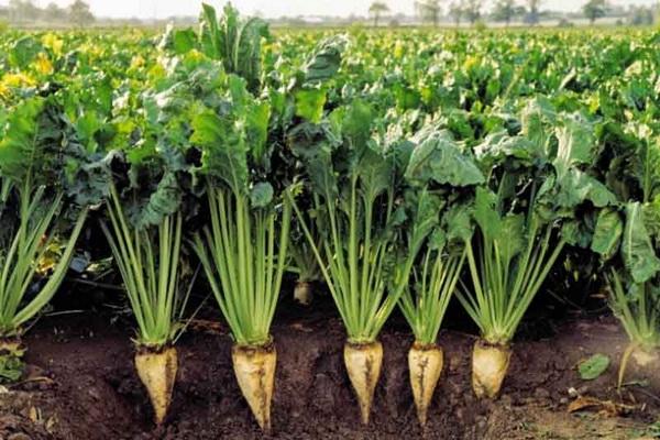 """سطح سبز """"مزارع چغندر قند """" آذربایجان غربی در سال زراعیمطلوب است"""