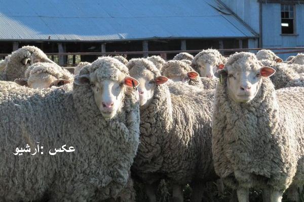 بیش از 70 راس گوسفند قاچاق در نقده کشف شد