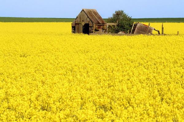 برداشت دانه روغنی کلزا از مزارع میاندوآب آغاز شد