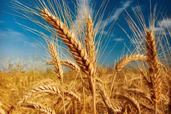 بیش از 9هزار تن گندم از کشاورزان شاهیندژ خریداری شد