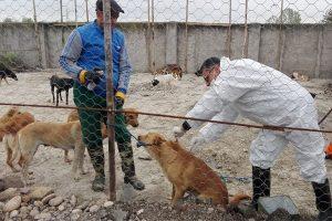 ایمن سازی بیش از 4 هزار قلاده سگ صاحبدار علیه بیماری هاری در استان آذربایجان غربی