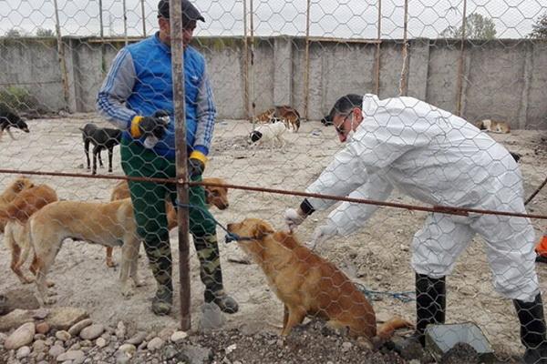 ایمن سازی بیش از ۴ هزار قلاده سگ صاحبدار علیه بیماری هاری در استان آذربایجان غربی