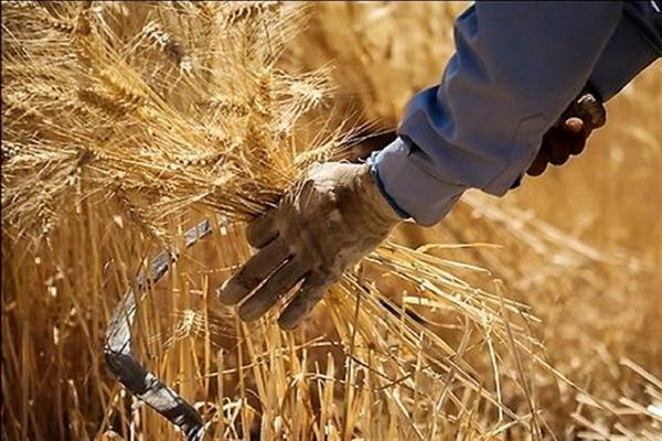 ۱۰ هزار تن گندم از زارعین اشنویه ای خریداری شد