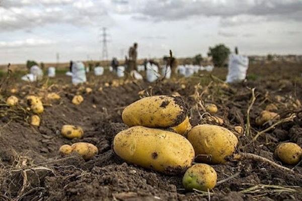 1800خانوار کردستانی مشغول به تولید محصول سیبزمینی هستند