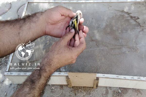 دستگیری متخلف زنده گیری پرنده سهره طلایی در مهاباد