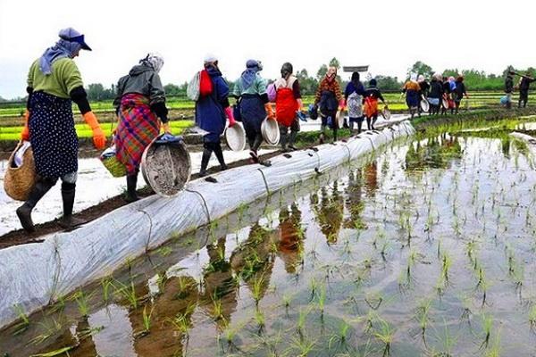 رشد فراگیر اشتغال دربخش کشاورزی در آذربایجان غربی