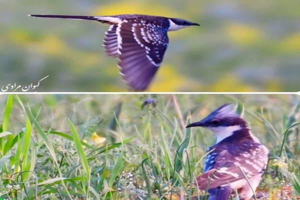مشاهده زادآوری پرنده کمیاب کوکوی خالدار در تالاب بین المللی زریوار مریوان