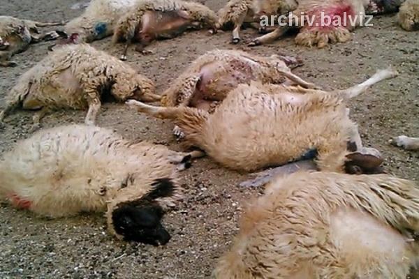 تلف شدن 8 راس گوسفند بر اثر تصادف در مهاباد