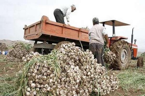 بیش از ۴ هزار تن سیر از اراضی زراعی آذربایجان غربی برداشت شد
