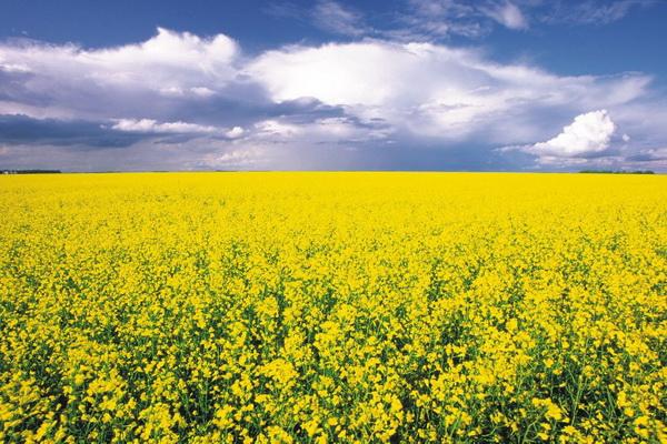 بیش از ۸۰۰تن کلزا از مزارع نقده برداشت شد