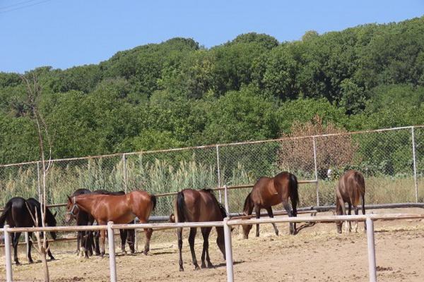 اولین واحد پرورش اسب نژاد کُردی کشور درشهرستان بوکان افتتاح شد
