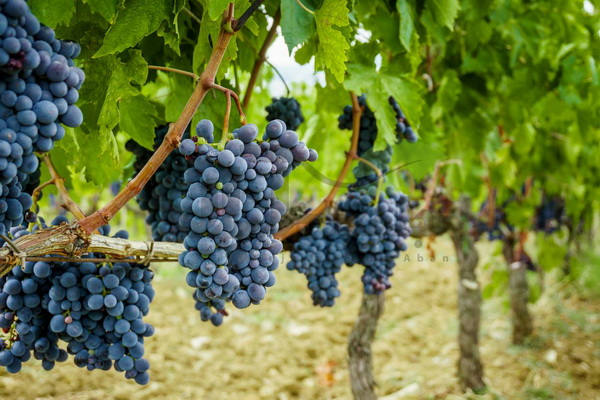 پیشبینی افزایش ۳۰ درصدی برداشت انگور از تاکستانهای مهاباد