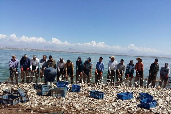 سالانه بیش از ۲۵۰تن انواع ماهی کپور از دریاچه پشت سد حسنلوی نقده تولید می شود